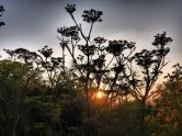 Fennel flowers in the gloaming