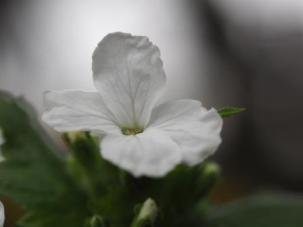 Lunaria annua Alba