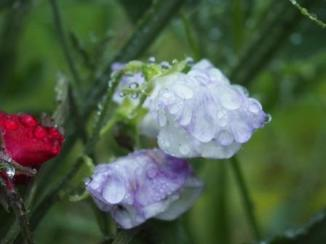 Sweet pea heavy with rain