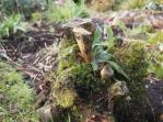 Old stumps - finally yielding