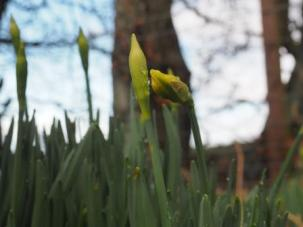 Early Daffodils