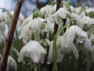 Fading Snowdrops