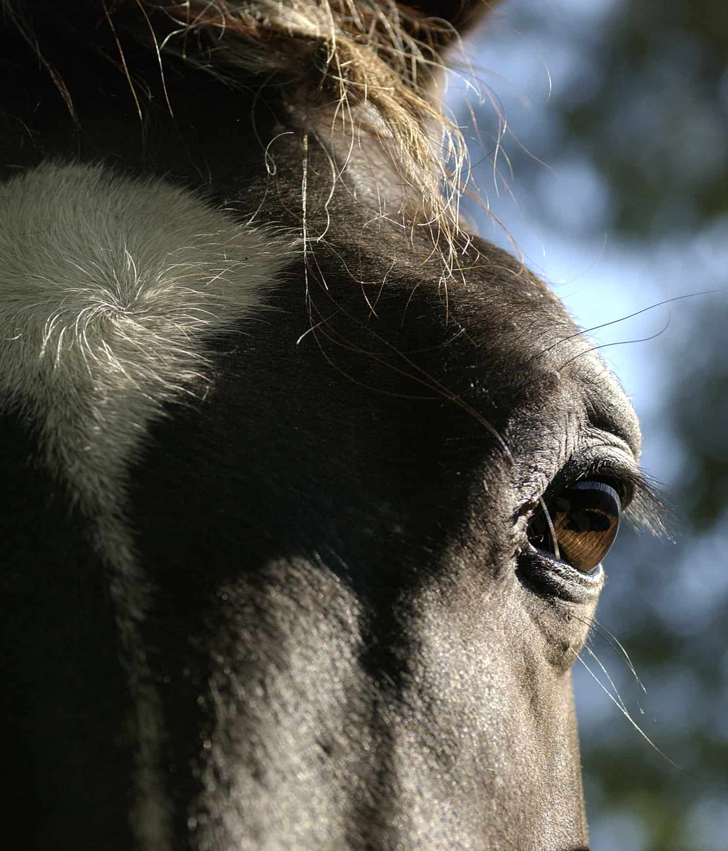 Equine Eye Anatomy And Physiology The Horse