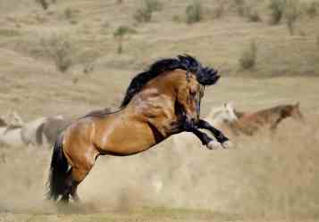 Calming a Mustang Stud – The Horse