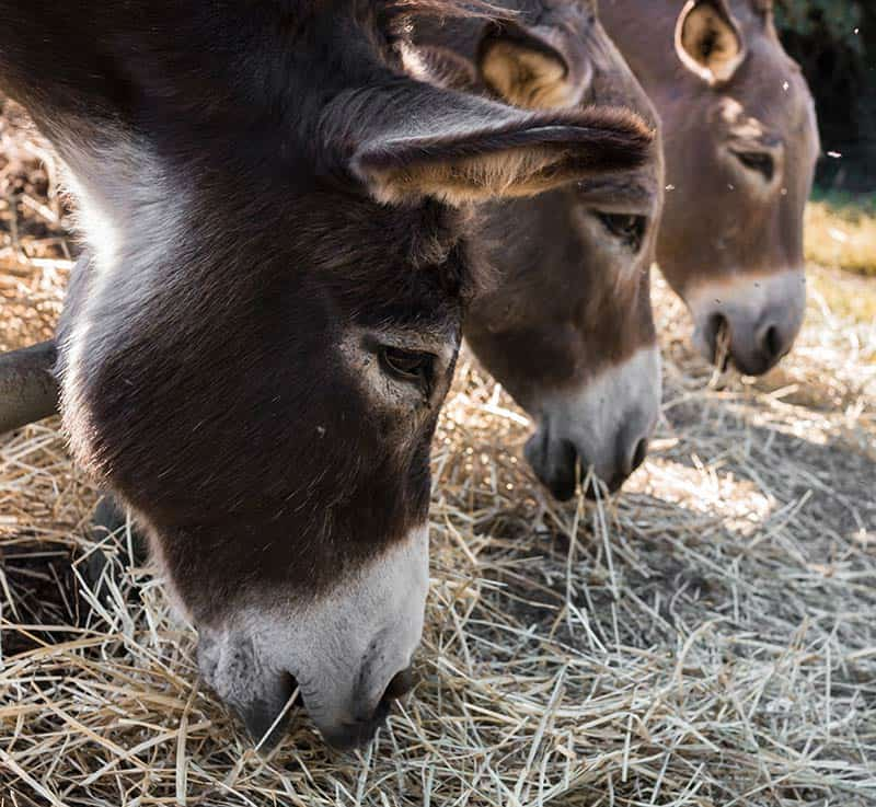 Where Can I Find Barley Straw to Feed My Donkey?
