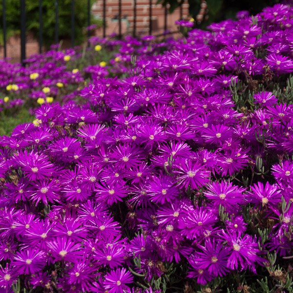 Fire and Ice (Plants): Rolling Out the Purply Pink Carpet