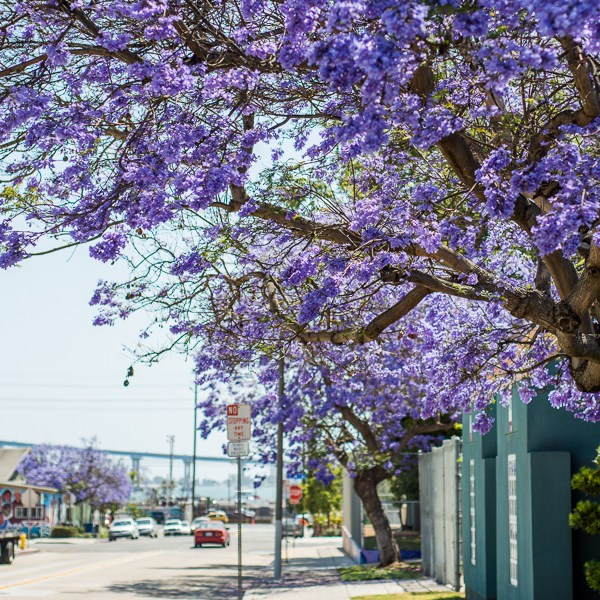 Purple Haze: Jacaranda Fever Hits San Diego