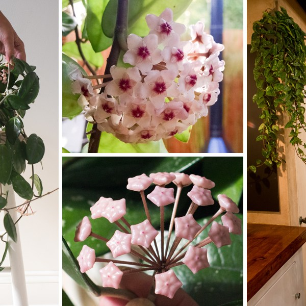 Wax Plant Poetic: Why the Hoya Is One Part Houseplant, One Part Hanging Heirloom