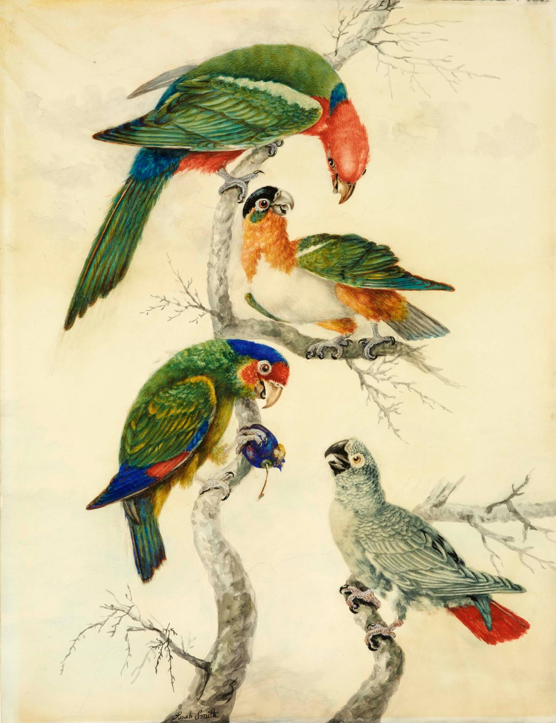 Four Parrots on a Branch, a watercolor painted by Sarah Stone in 1789 or 1790.