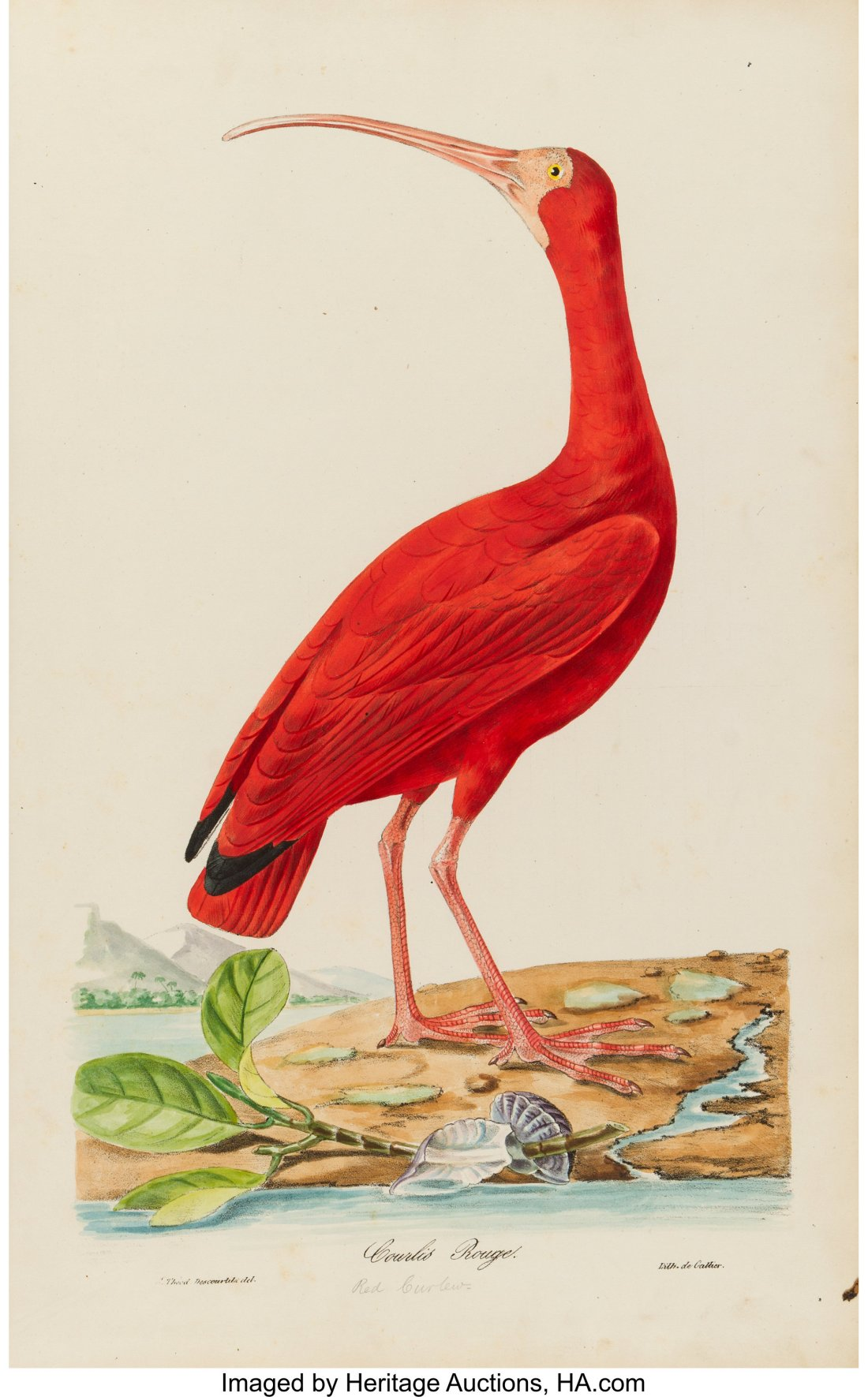 An 1834 first edition of Oiseaux brillans du Brésil by Jean Théodore Descourtilz. Pictured is the Red Curlew plate from the book.