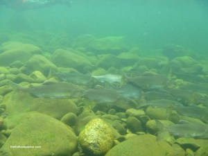 Snorkeling with Salmon