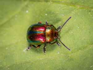 destructive garden pests, japanese beetle