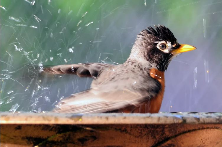 Attract birds, Bird Bathing