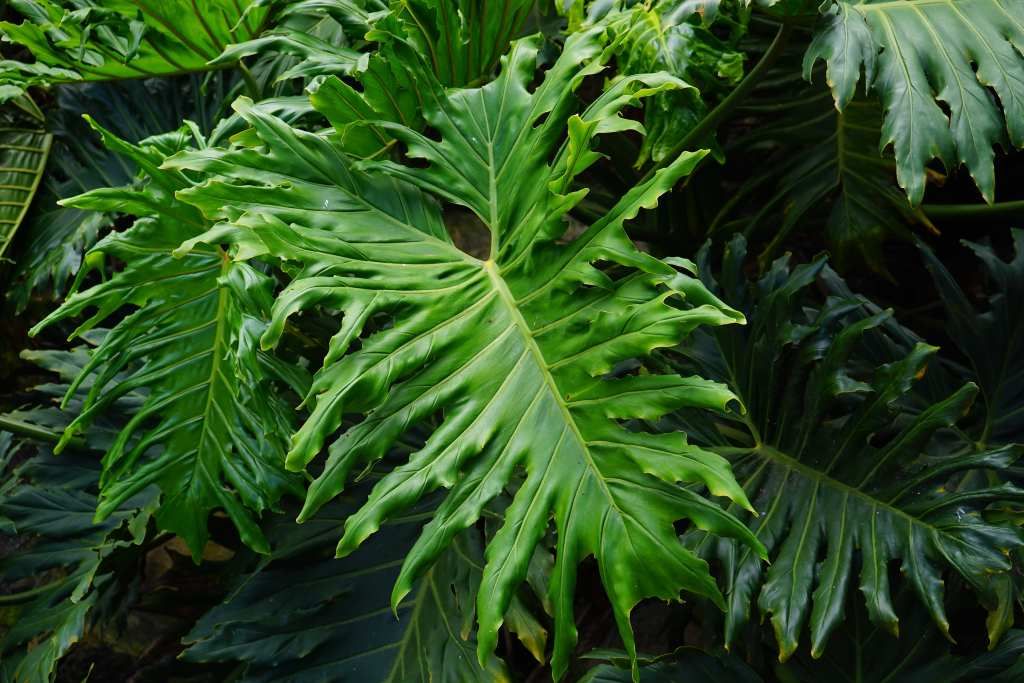 Green living, philodendron