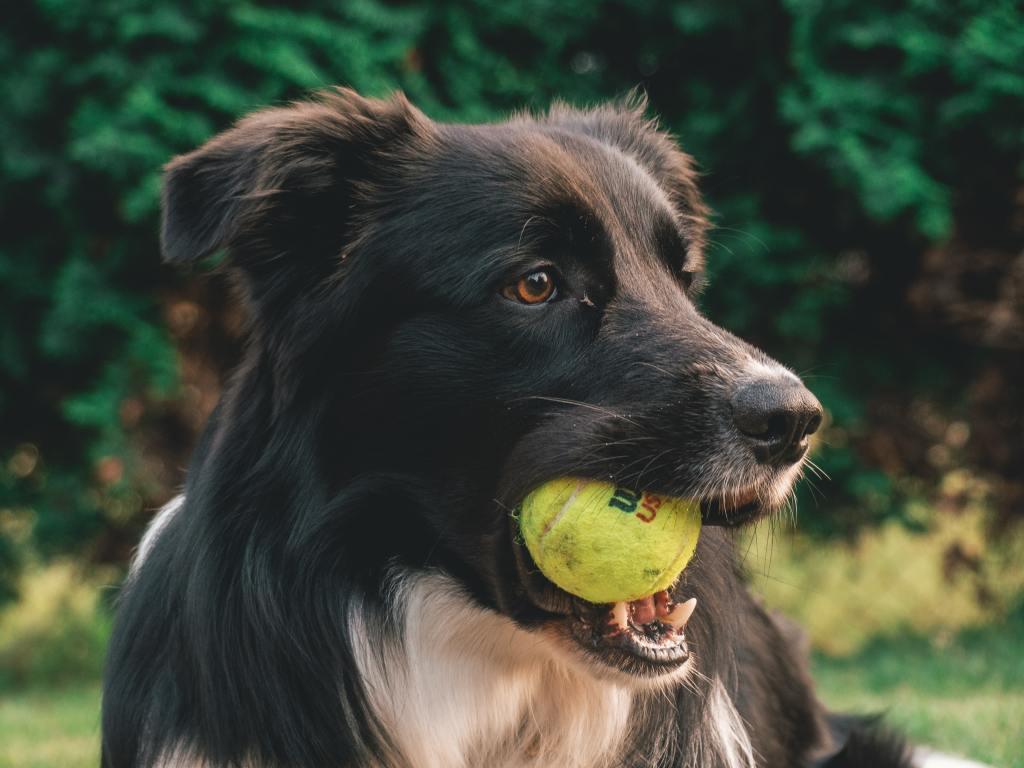 Dog, play. ball