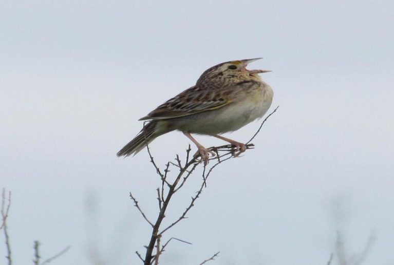 Sparrow singing mating calls