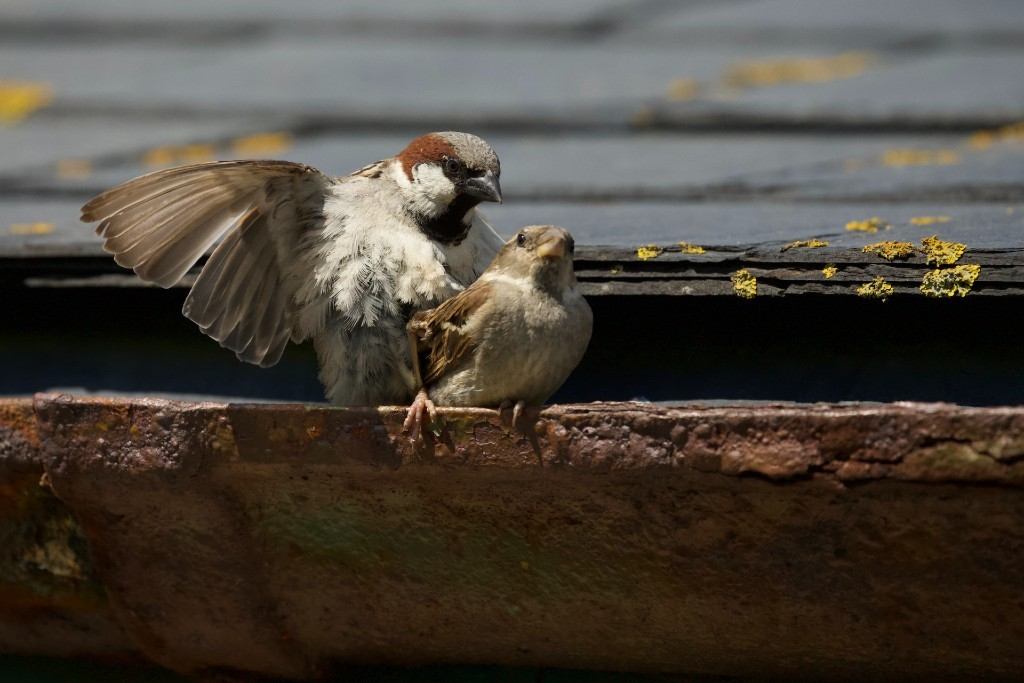 White-crowned sparrow couple
