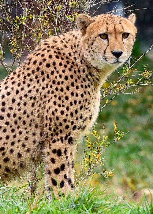 crazy things, cheetah