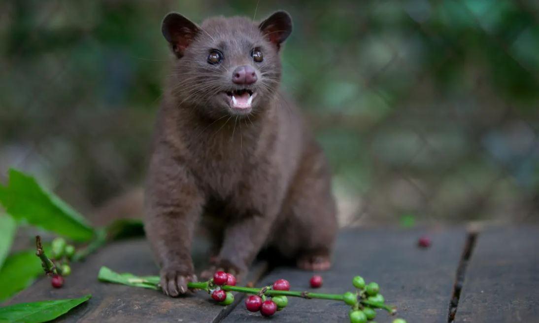 Civet cat record coffee
