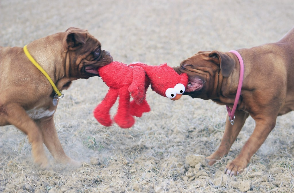 Conservation Dogs playing with toys
