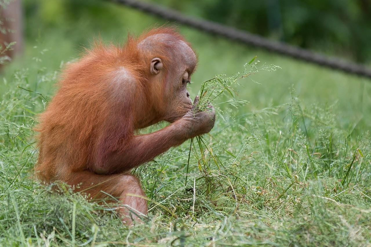 Baby orangutan -- The Hot Mess Press