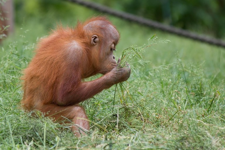 Baby orangutan -- The Hot Mess Press