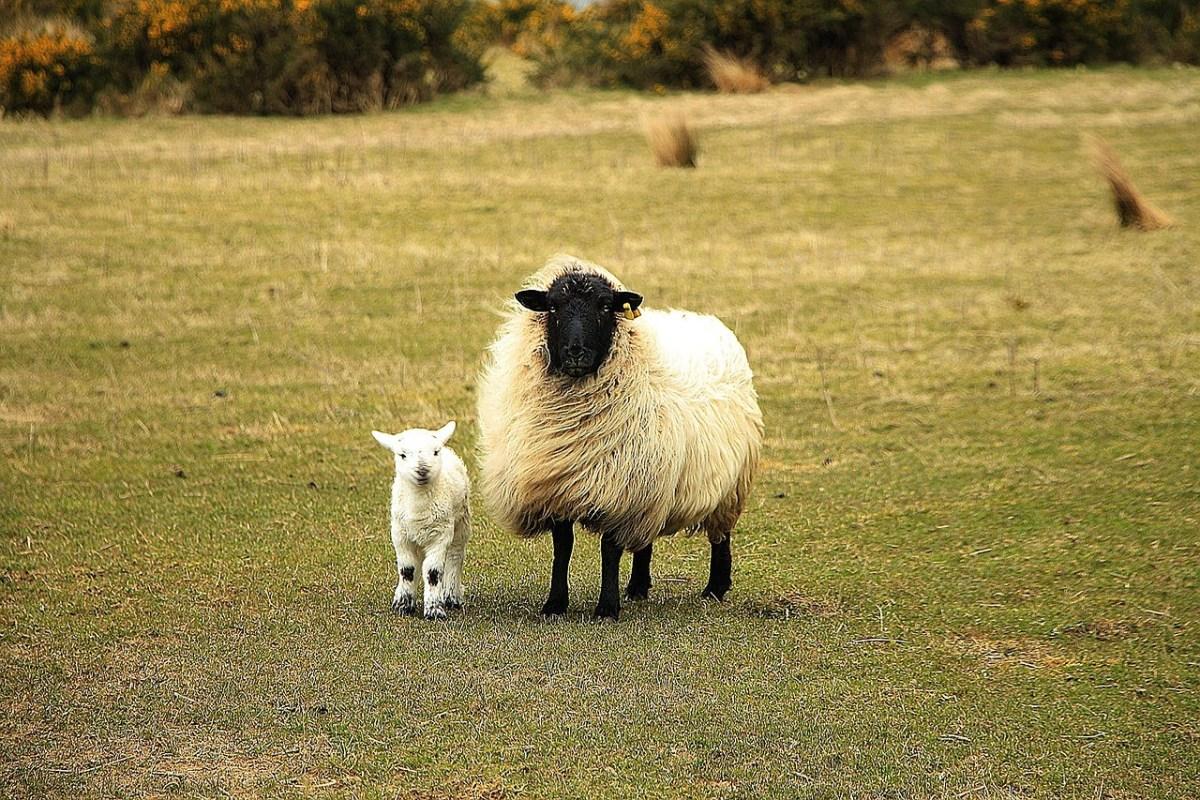 Baby lamb and sheep