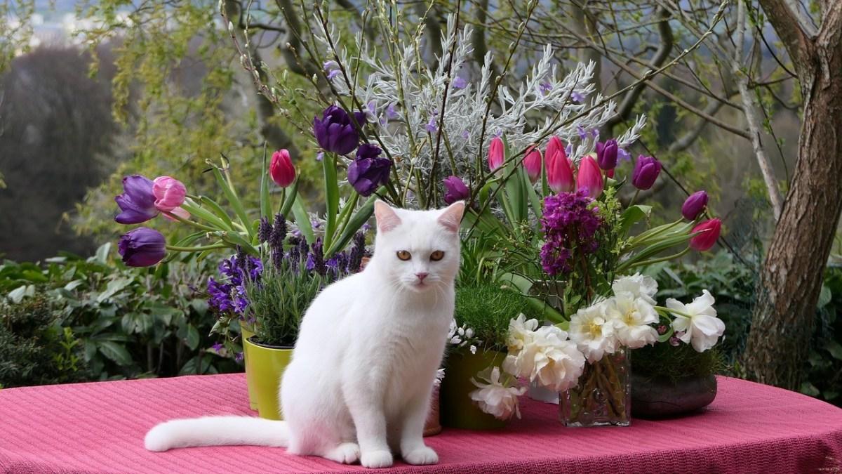 Turkish Van Breed Cat