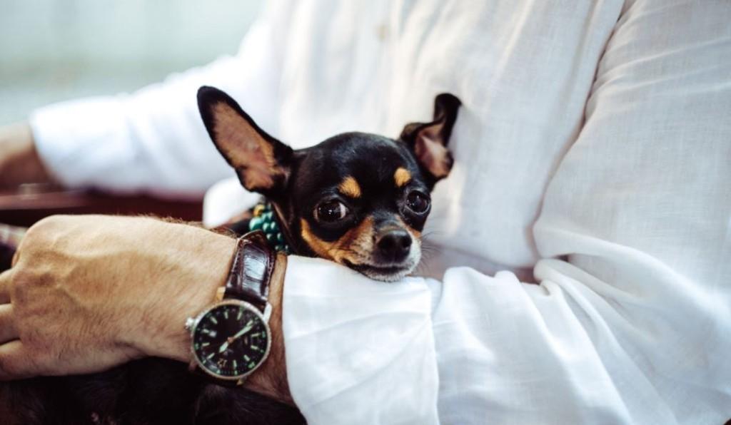 Small dog on man's lap