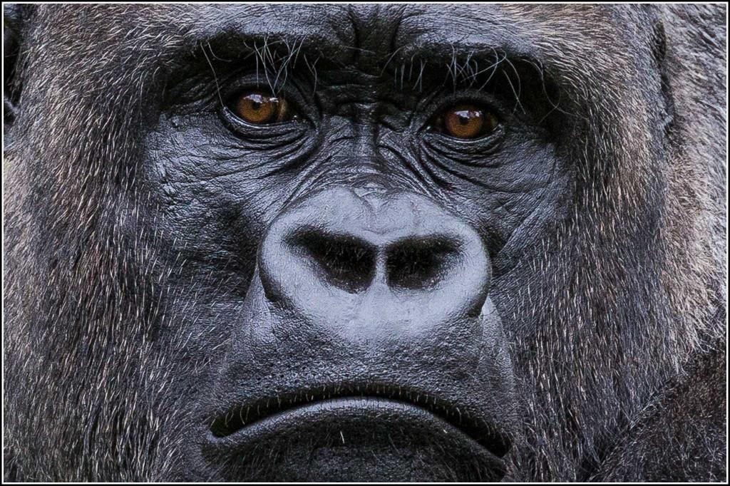 Social Distancing Gorilla