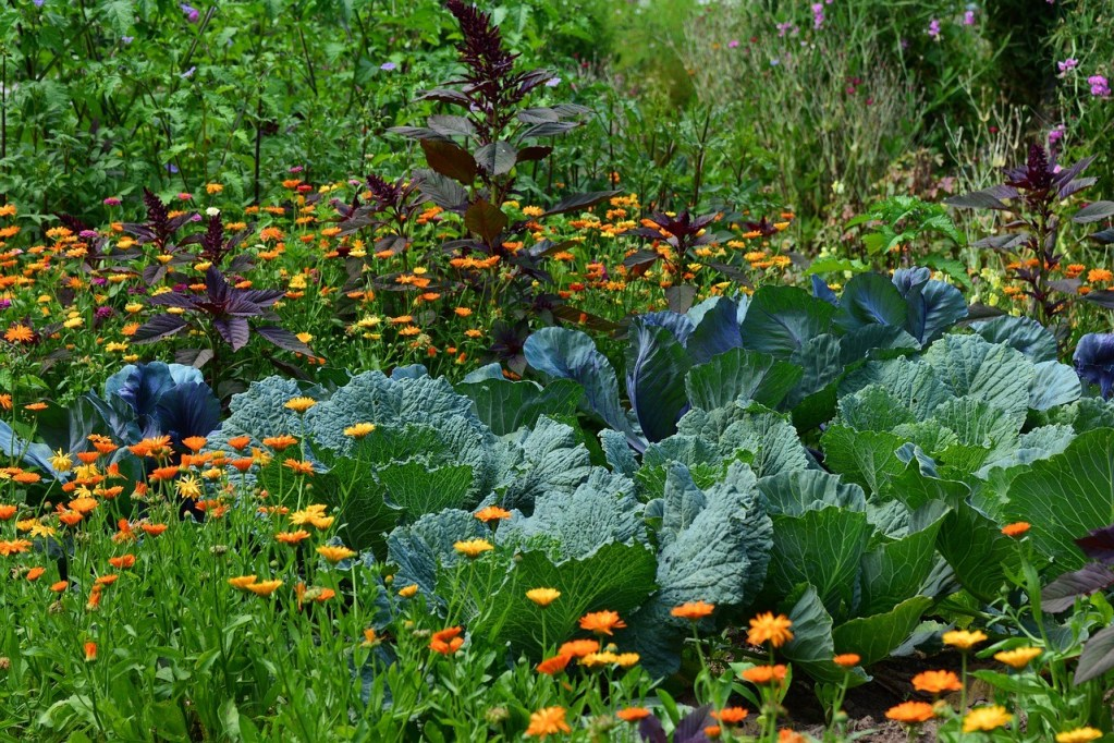 companion planting, cabbage and flowers growing alongisde each other