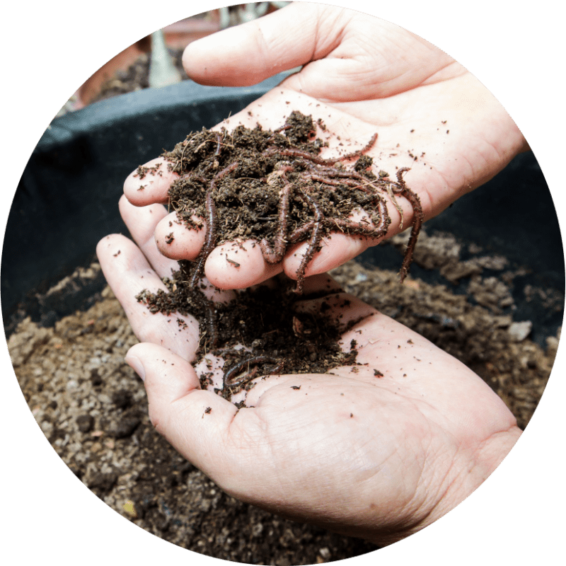 Compost earthworms