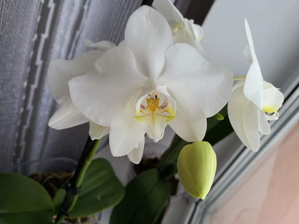 Positive Energy Orchid