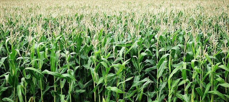 corn crop, field of corn with tassels