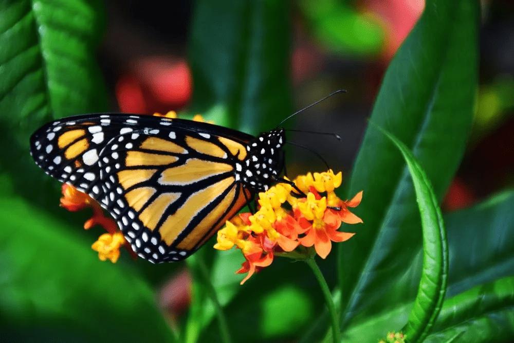 butterfly host plants, monarch on milkweed