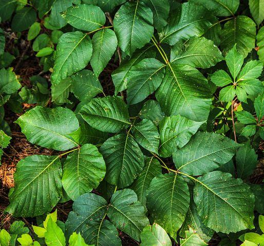 tea tree, poison ivy leaves