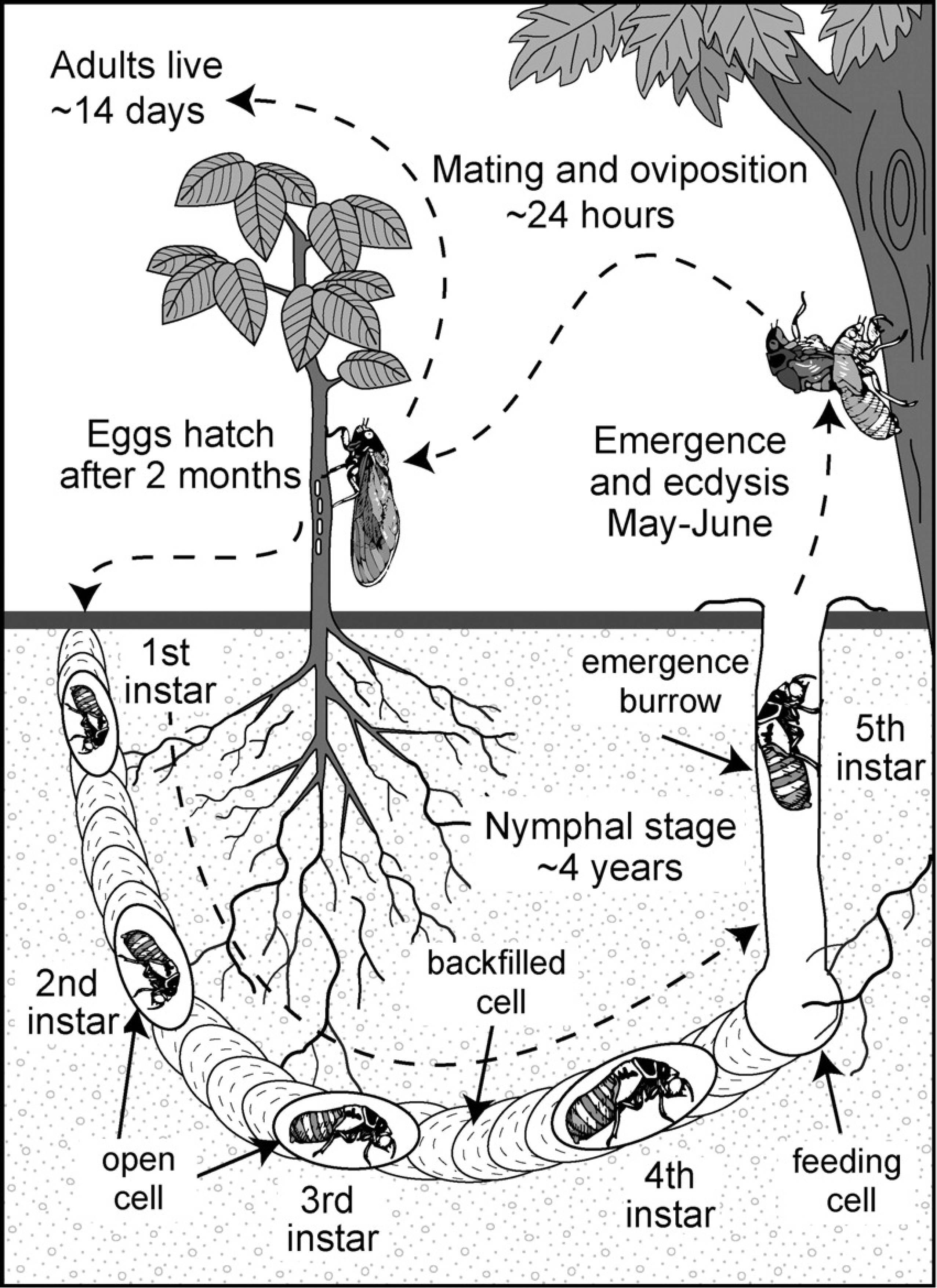 The Daily Apple Apple 716 Cicadas