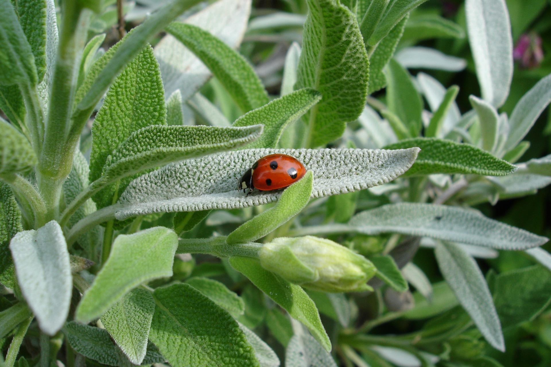 Plant Profiles: Sage