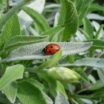ladybug sage plant magickal hedgewitch the house of twigs thot