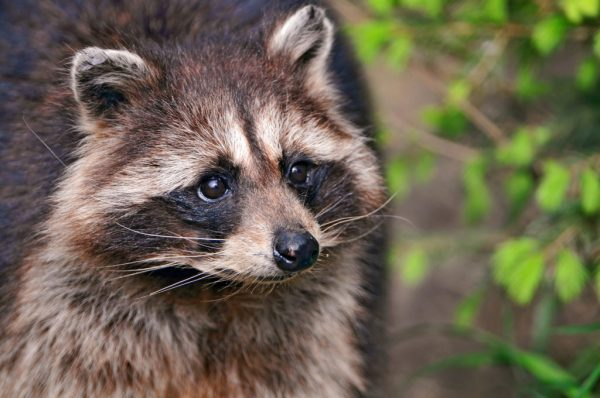 How To Repel Raccoons? – The Housing Forum