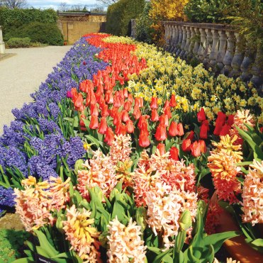 Pink and blue hyacinths, red tulips and yellow daffodils at Wisley.