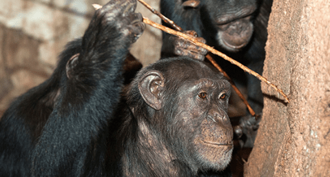 Social Learning in Animals: Implications for the Evolution of Human Intelligence