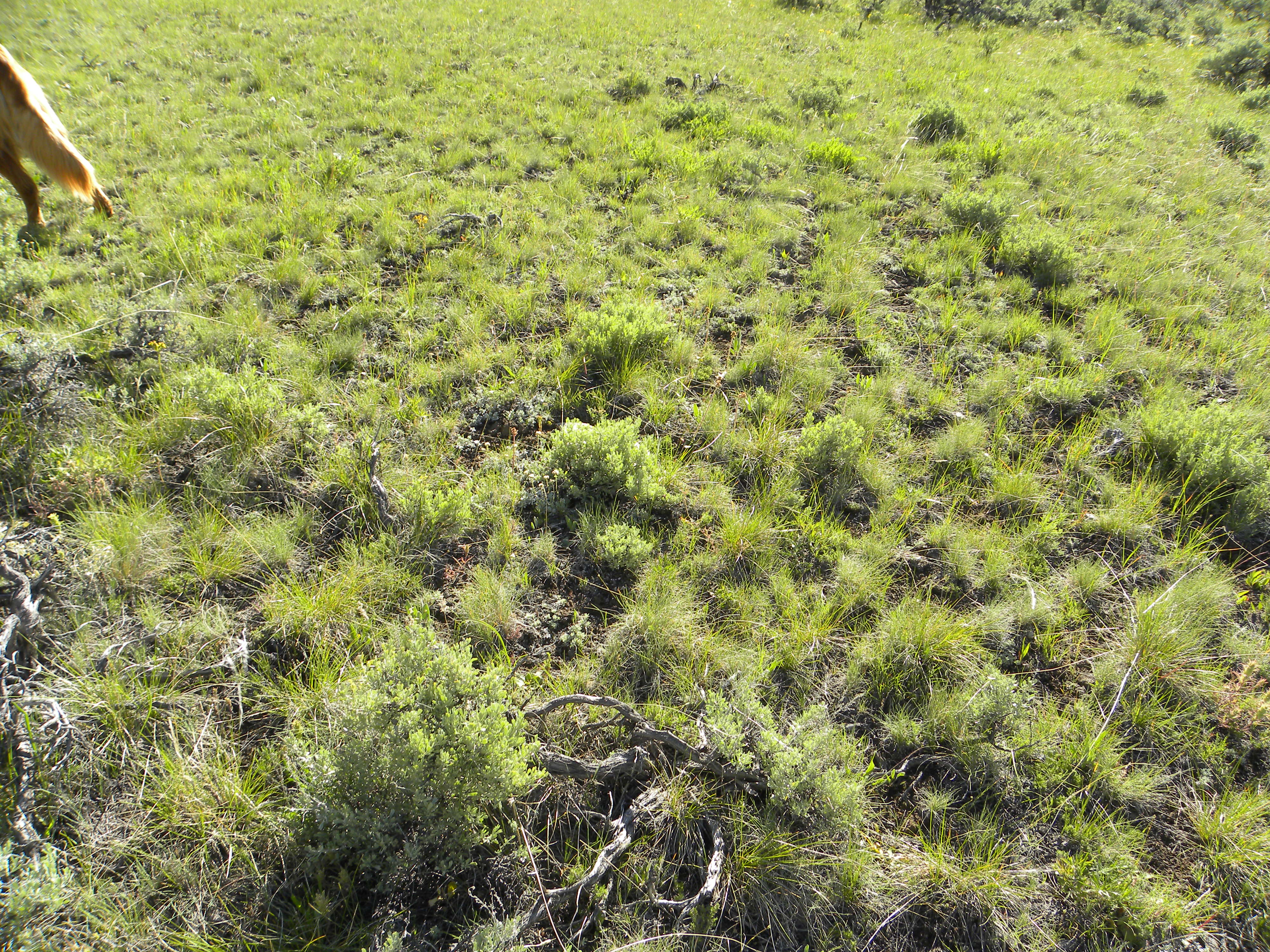 An example of a natural bunch grass meadow--nature's perfection