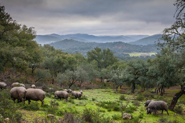 charcuteria-iberico-pigs
