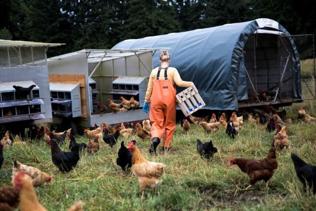heyday-farm-chickens