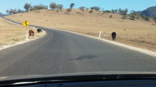 obligatory cows on the road pic