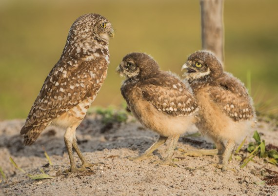 Cape Coral, FL – Burrowing Owls – Part 2- Babies (Owlets)