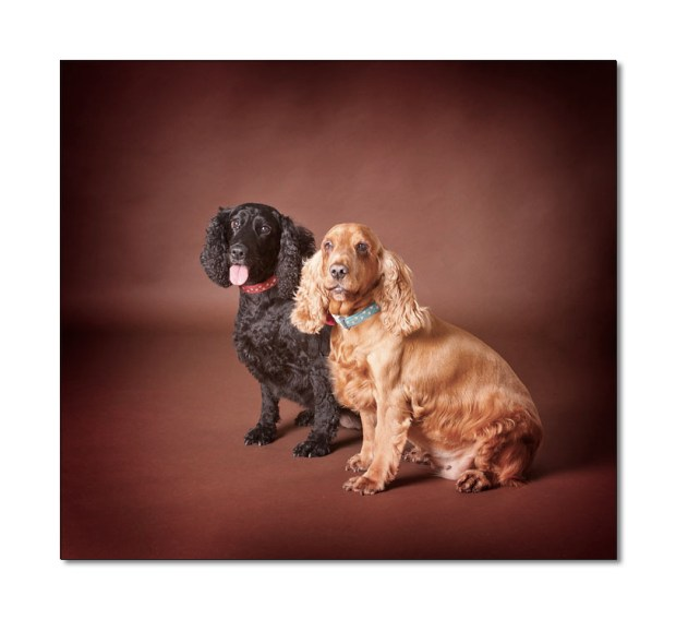 black and sherry coloured cocker spaniels