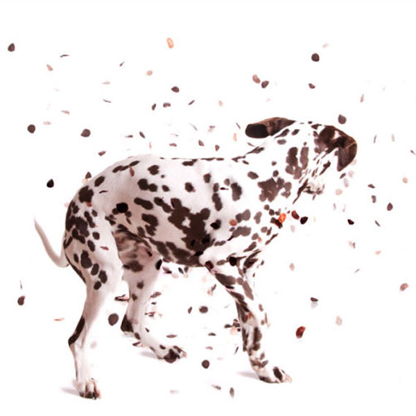 dalmation dog shaking his spots off