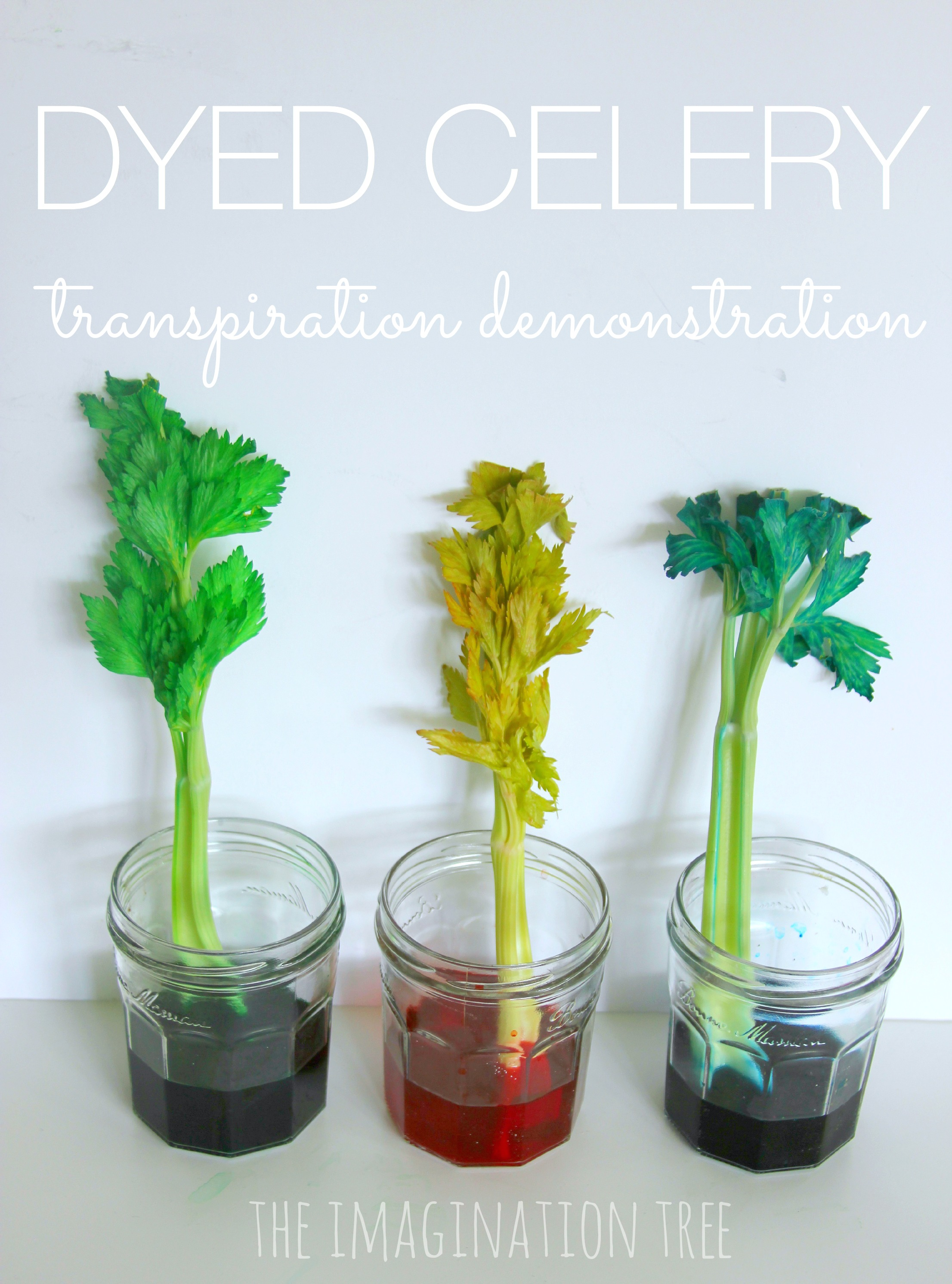 Dyed Celery Experiment Transpiration Demonstration